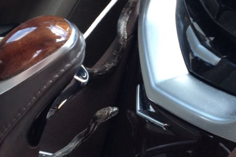 Snake in an SUV: How a Va. woman's drive turned into slithery pain in the tail