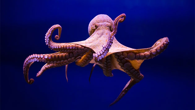 octopus killed for food after correctly predicting 3 world cup games