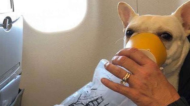 JetBlue flight attendants praised for saving French Bulldog
