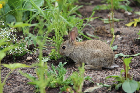 Deer, bunnies, weeds: How to deal with summer garden pests