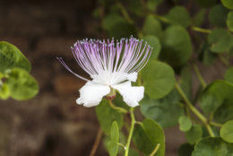 Close-up of a caper flower