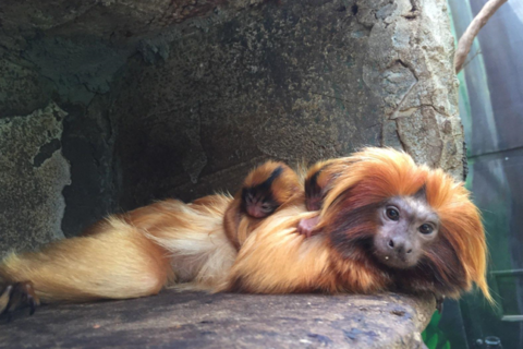 Newborn golden lion tamarin falls, dies at National Zoo