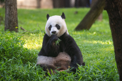 Fans of the giant panda should take a bow for the species' resurgence