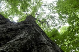 0a9717b63a21d Big tree found near farm may be among Pennsylvania's largest | WTOP
