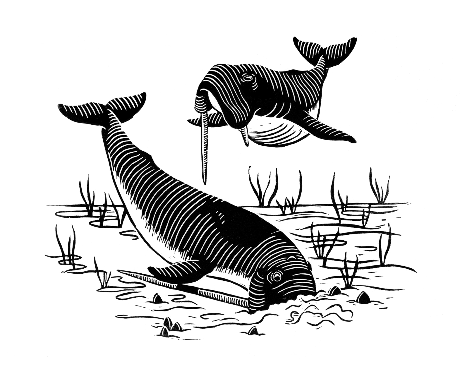 """This illustration from Nick Pyenson's book """"Spying on Whales,"""" shows what the Odobencetops, a walrus-faced whale, would have looked like. It is one of the fossils set for showing in fossil hall. (Courtesy Alex Boersma for """"Spying on Whales"""")"""