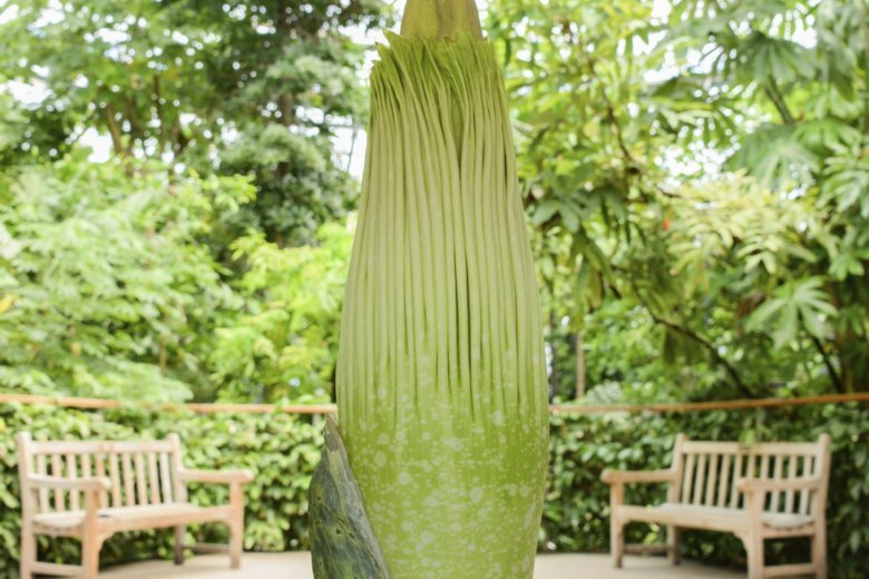 Stinky \'corpse flower\' expected to bloom in California   WTOP