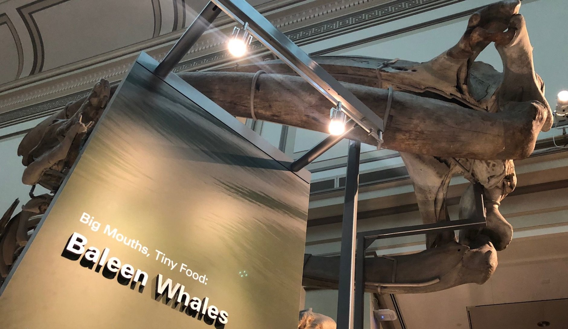 Also on display will be a fossil baleen whale called Diorocetus; a distant relative of humpbacks, unearthed locally. (WTOP/Megan Cloherty)
