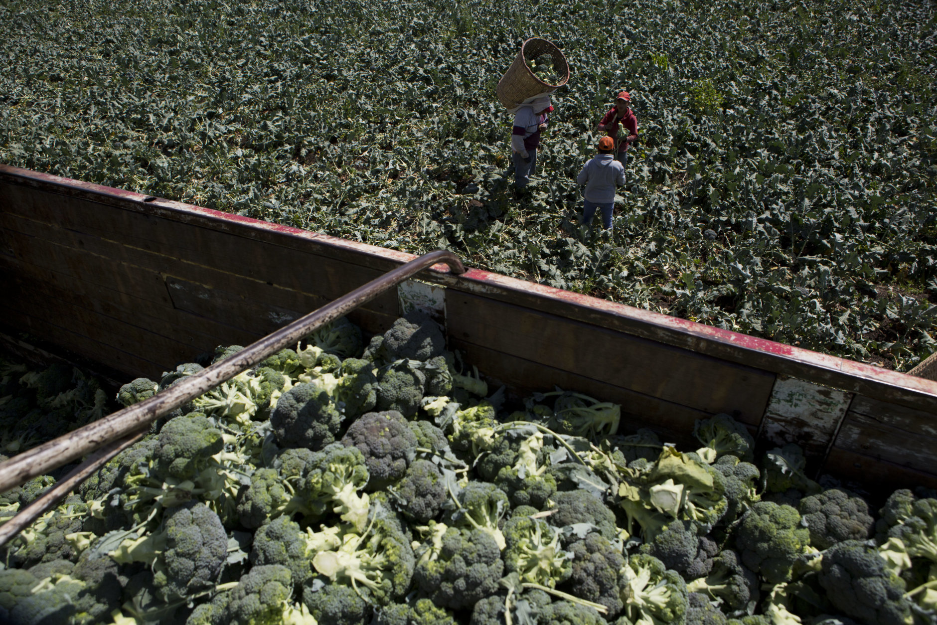 In this April 1, 2017 photo, day laborers harvest broccoli irrigated with wastewater, near Mixquiahuala, Hidalgo state, Mexico. (AP Photo/Rebecca Blackwell)