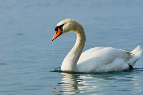 England's swans population counted in annual 'swan-upping'