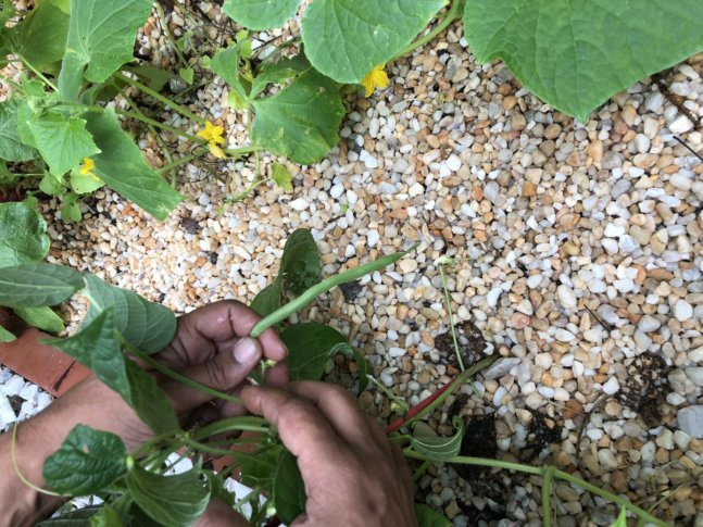 Campbell Holds A Bean Plant Growing From A Gravel And Sand Garden In His  Ellicott City Home. (WTOP/Rachel Nania)