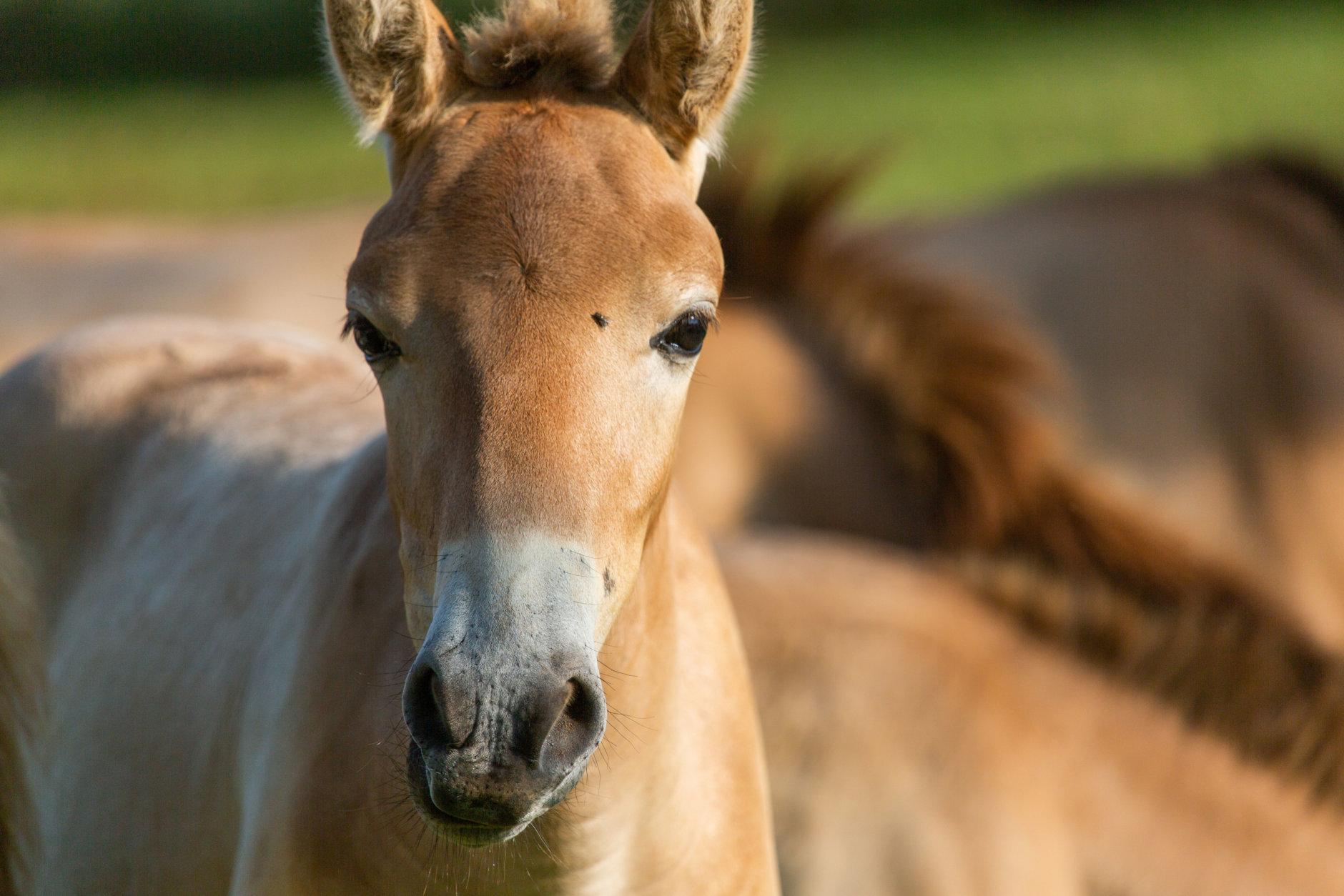 Gobi Wan Kenobi, an endangered Przewalski's horse colt at the Smithsonian Conservation Biology Institute