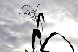 Corn grows at the Bair Road Garden in Northwest D.C. (WTOP/Kate Ryan)
