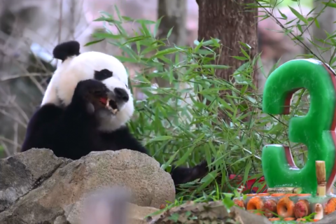 Go Bei Bei, it's your birthday: Panda turns 3, wilds out at zoo (video)