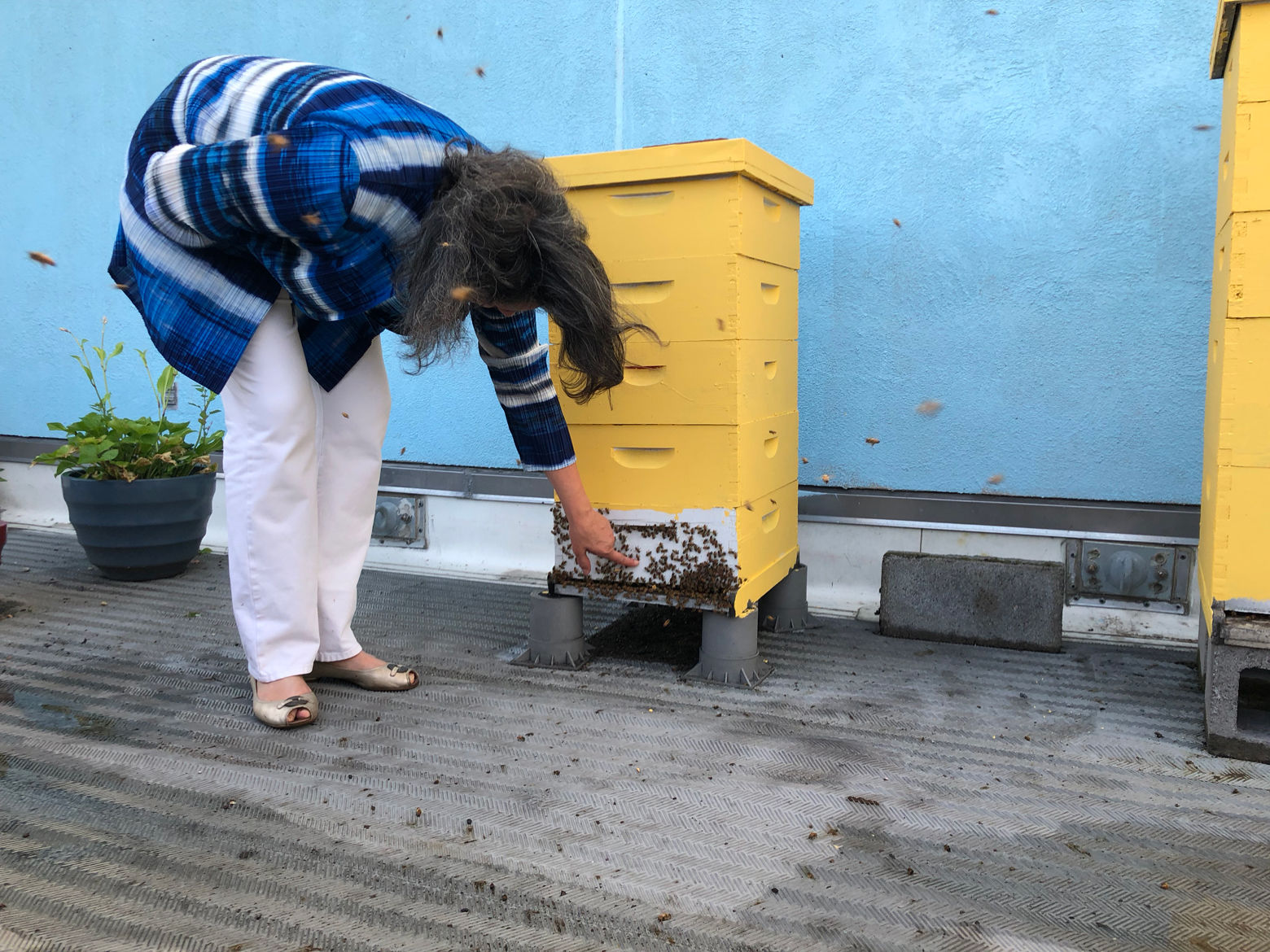 Toni Burnham, president of the D.C. Beekeepers Alliance, inspects a rooftop hive at the Fairmont Hotel. (WTOP/Dan Friedell)