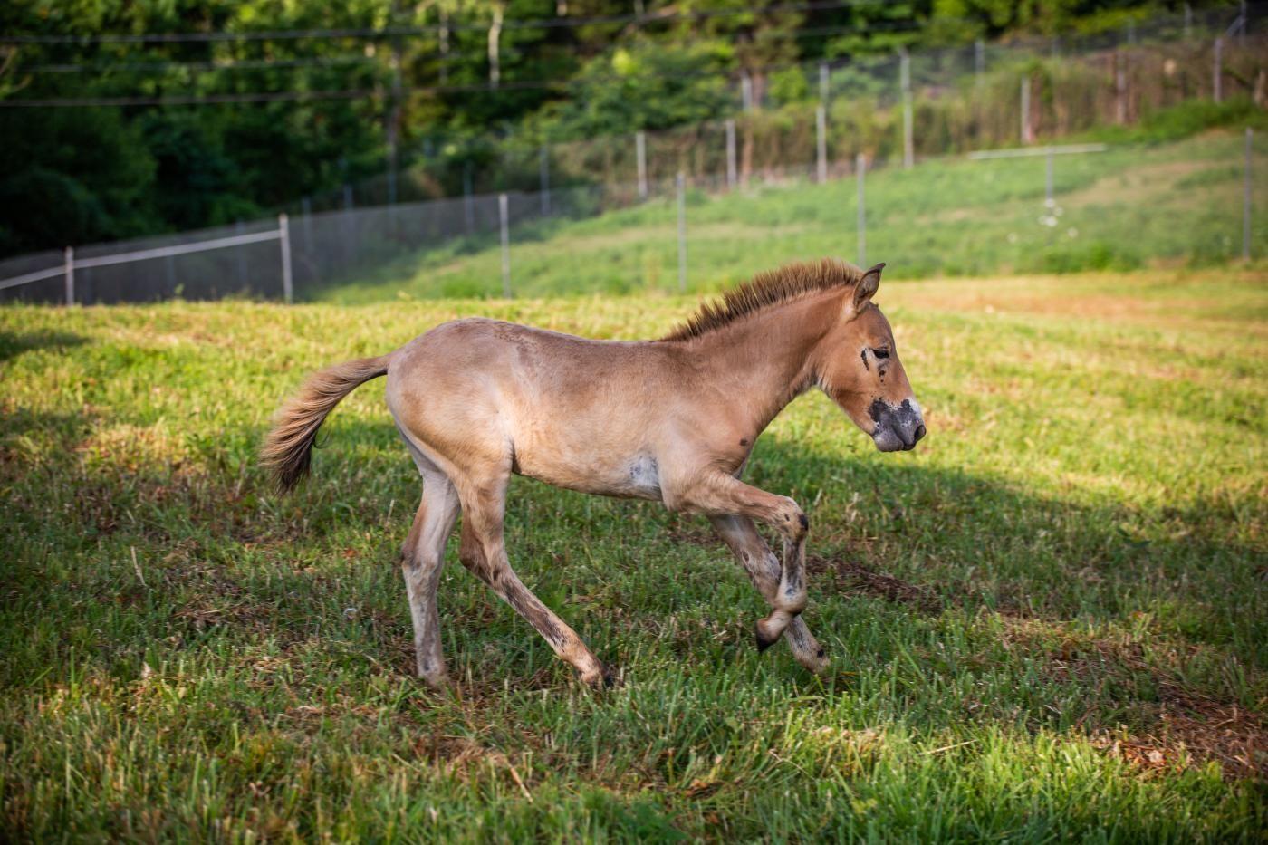 Steppenhoof, an endangered Przewalski's horse colt at the Smithsonian Conservation Biology Institute
