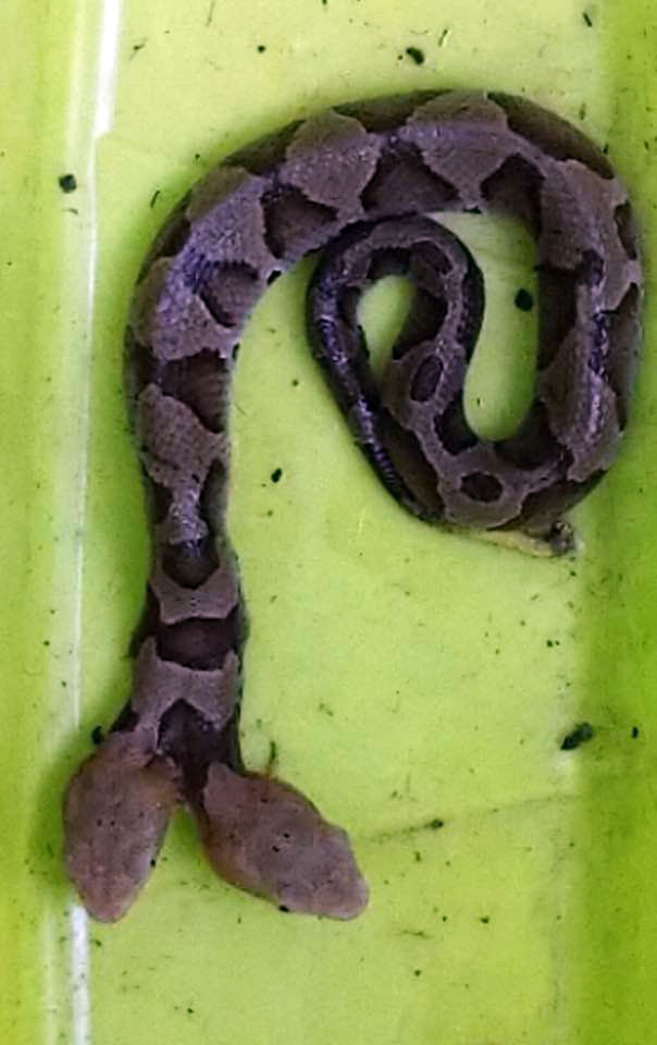 The snake was found in a Woodbridge yard. (Courtesy Virginia Wildlife Management and Control)