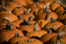 Pumpkins are set out for sale at Maple Acres Farm in Plymouth Meeting, Pa., Tuesday, Oct. 17, 2017. (AP Photo/Matt Rourke)
