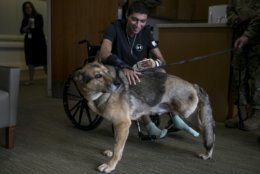 Army Spc. Alec Alcoser is reunited with his dog Alex at Audie L. Murphy Memorial VA Hospital, Friday, Sept. 14, 2018, in San Antonio, Texas. Alcoser was a military dog handler who suffered a traumatic brain injury and his dog lost a leg after they were hit by the blast of a suicide bomber in Afghanistan Aug. 5. Currently, Alcoser is receiving care at the VA's polytrauma unit, while Alex is rehabilitating at Joint Base San Antonio-Lackland.(Josie Norris/The San Antonio Express-News via AP)