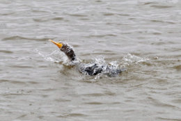 A cormorant isn't put off by the tidal flooding near Hains Point. It dives in for a bathing session. (WTOP/Kate Ryan)