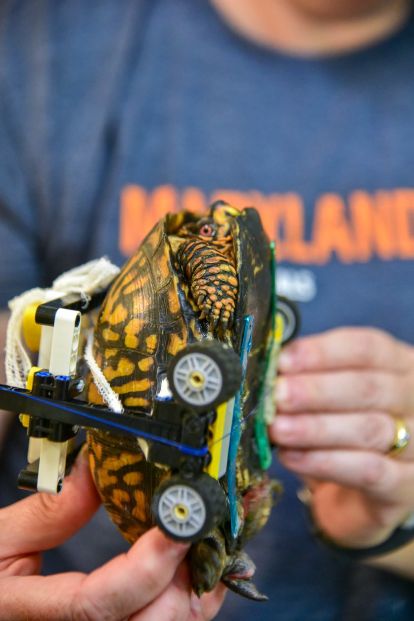 """They don't make turtle-sized wheelchairs. So, we drew some sketches of a customized wheelchair and I sent them to a friend who is a LEGO enthusiast."" (Courtesy Maryland Zoo/Sinclair Miller)"