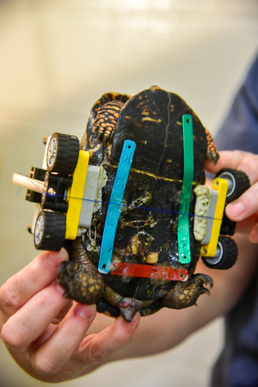 Veterinarians performed a surgery on the turtle and added metal bone plates, sewing clasps and surgical wire to help keep the shell fragments together, according to the zoo. (Courtesy Maryland Zoo/Sinclair Miller)
