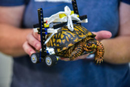 The wheelchair allows the bottom of the turtle's shell to be lifted off the ground so it could heal properly. (Courtesy Maryland Zoo/Sinclair Miller)