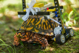 The turtle will likely use the wheelchair into the spring. (Courtesy Maryland Zoo/Sinclair Miller)
