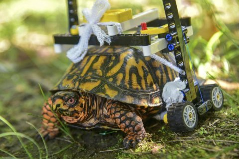 Injured turtle sheds Lego wheelchair for 6-month dormancy
