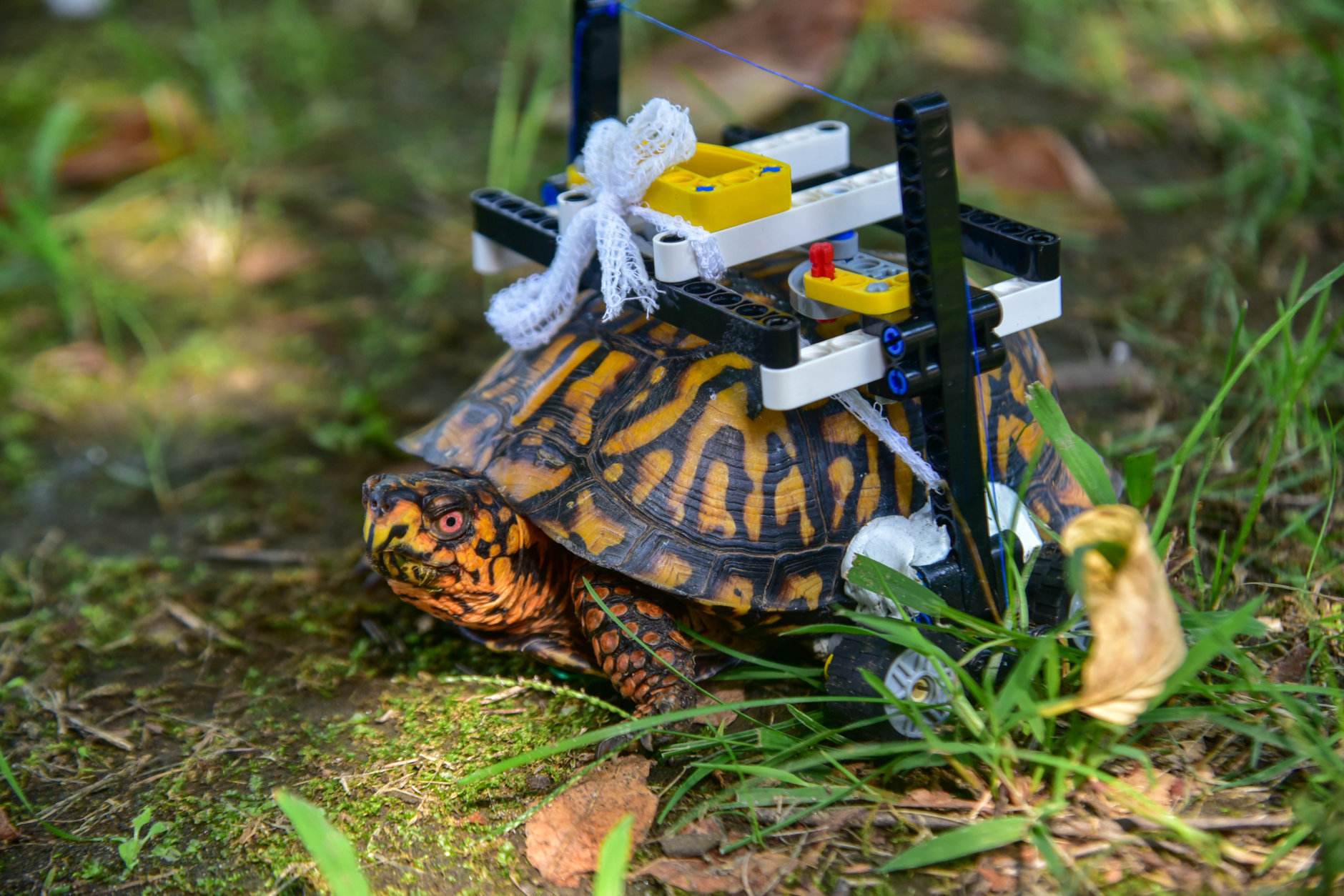 The LEGO wheelchair lets an injured box turtle move around. (Courtesy Maryland Zoo/Sinclair Miller)