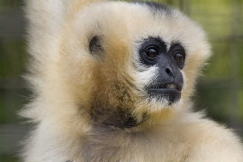 National Zoo announces death of oldest white-cheeked gibbon