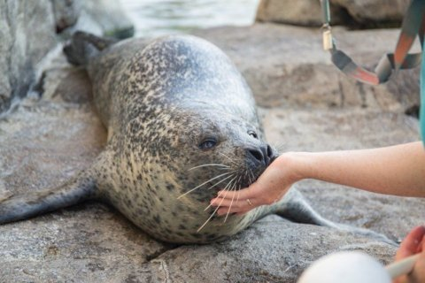 32-year-old seal named Peter euthanized at Virginia aquarium