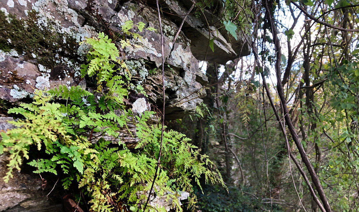 A fern grows from the east abutment of the Jug Bridge. Many of the stones from the 19th-century structure have tumbled down the bluff toward the Monocacy River. (WTOP/Dave Dildine)