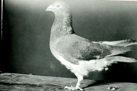 Meet the hero carrier pigeon that saved US troops during a WWI battle 100 years ago