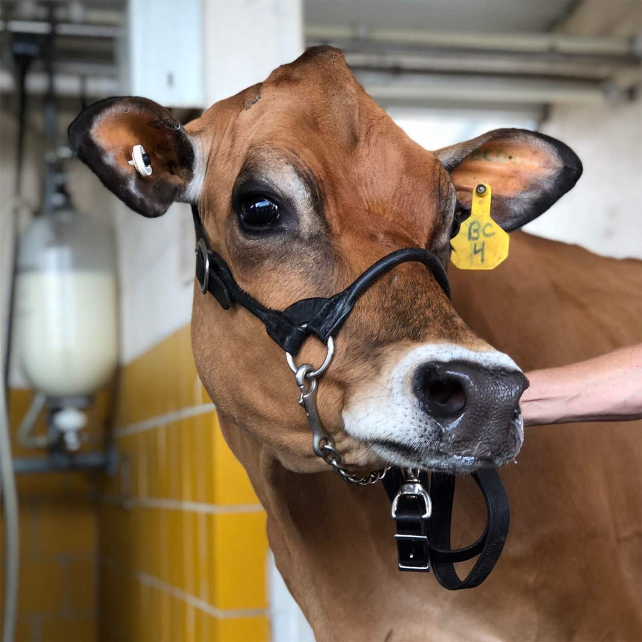 This cow isn't entered in the Pretty Cow Contest, but she could give the others a run for their money. Frederick County's annual fair is a big draw for the region. Kids get a day off of school to attend. (WTOP/Kate Ryan)