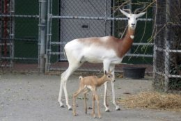 The female dama gazelle calf was born Oct. 9 to 9-year-old mother Fahima and 4-year-old father Edem in an off-exhibit enclosure.  (Courtesy National Zoo)