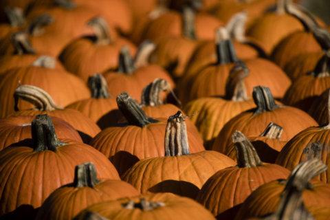 Unusually wet summer squashes Maryland pumpkin crop