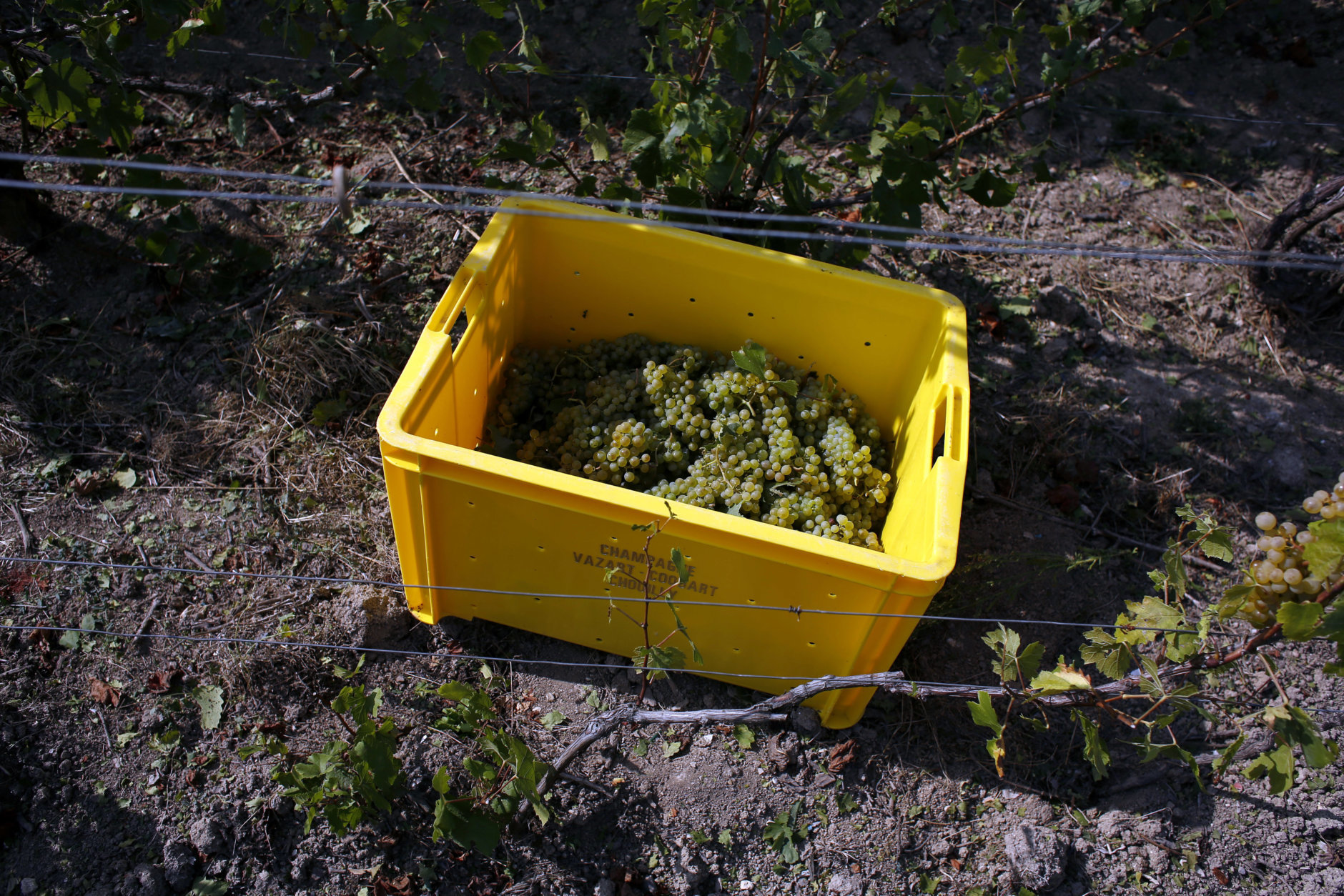 In this photo taken on Tuesday, Aug. 28, 2018 a box containing grapes on the ground among vineyards during the grape harvest season, in the Champagne region, in Chouilly, eastern France. Temperatures have risen 1.2 degrees Celsius (2.16 F) in 30 years, and pickers are scrambling to bring in yet another early harvest. To counter the creeping effects of climate change, including chaotic weather, scientists are experimenting with developing more resistant grape varieties. (AP Photo/Thibault Camus)