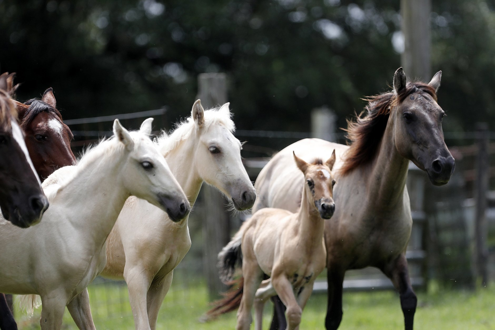 CORRECTS TO FILLY FROM A PHILLY COLT - In this July 17, 2018, photo, Choctaw mare, right, and her 3-month-old filly, center, run with other Choctaw horses on Bill Frank Brown's farm in Poplarville, Miss. Choctaw horses are descended from those brought to the United States in the 1500s and later by Spanish explorers and colonists, said Dr. Phillip Sponenberg of the Virginia-Maryland College of Veterinary Medicine. (AP Photo/Gerald Herbert)