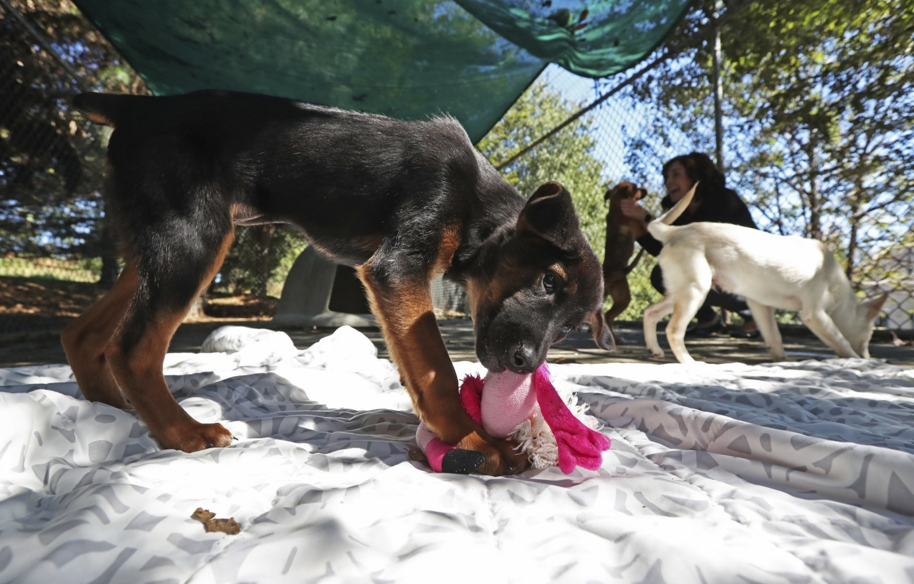 In this Friday, Oct. 12, 2018, photo, puppies play together at the Charlottesville-Albemarle SPCA in Charlottesville, Va . The puppies were rescued from a dog meat farm in South Korea by Humane Society International and are now up for adoption at the center. (Zack Wajsgras/The Daily Progress via AP)