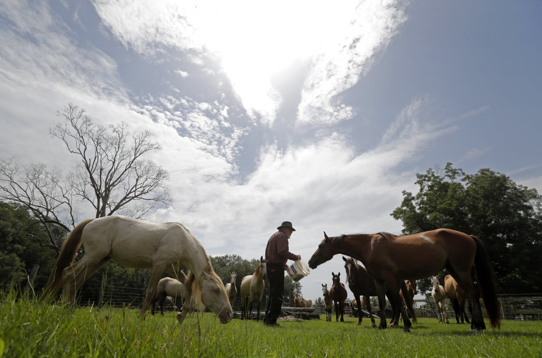 In this July 17, 2018, photo, Bill Frank Brown feeds horses including Choctaw mares on his farm in Poplarville, Miss. The farm had been in Brown's family since 1881 and the livestock there, even longer. Brown had three stallions back then, including DeSoto. He called them pine tacky horses. The Texas A&M veterinary school tested samples of the stallions' DNA, and they matched those of Rickman's Choctaws. (AP Photo/Gerald Herbert)