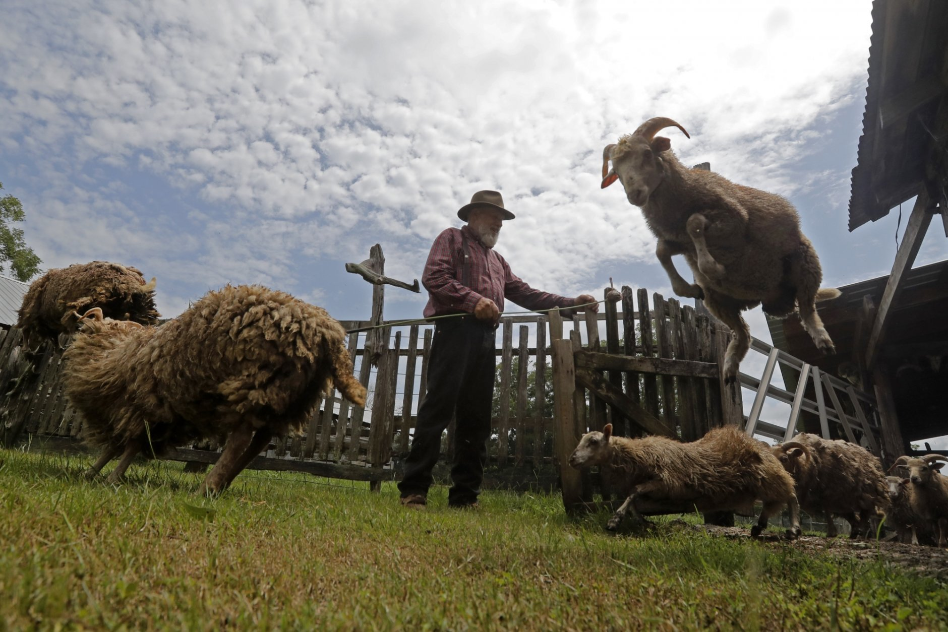 In this July 17, 2018, photo, heritage sheep, descendants of Spanish colonial sheep, leap from their pen on Brown's farm in Poplarville, Miss. Dr. Phillip Sponenberg of the Virginia-Maryland College of Veterinary Medicine says the horses, cattle, and sheep owned by Brown are all descended from animals brought to the United States since the 1500s by Spanish explorers and colonists. (AP Photo/Gerald Herbert)
