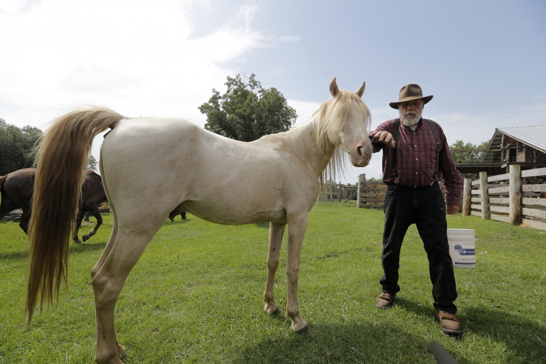 In this July 17, 2018, photo, Bill Frank Brown pets DeSoto, a 19-year-old Pine Tacky Stallion, on his farm in Poplarville, Miss. Brown was 14 when he inherited the Poplarville farm that Sponenberg visited in 2005. The farm had been in Brown's family since 1881 and the livestock there, even longer. Brown had three stallions back then, including DeSoto. He called them pine tacky horses. The Texas A&M veterinary school tested samples of the stallions' DNA, and they matched those of Rickman's Choctaws. (AP Photo/Gerald Herbert)
