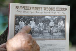 In this July 17, 2018, photo, Bill Frank Brown points out an ancestral photo from a trade magazine on his farm in Poplarville, Miss. The farm had been in Brown's family since 1881 and the livestock there, even longer. Brown had three stallions back then, including DeSoto. He called them pine tacky horses. The Texas A&M veterinary school tested samples of the stallions' DNA, and they matched those of Rickman's Choctaws. (AP Photo/Gerald Herbert)