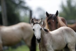 In this July 17, 2018, photo, Bay Choctaw Mare with Buckskin stud colt, are seen on Bill Frank Brown's farm in Poplarville. An aging stallion found by accident on a Mississippi farm is bringing the first new blood in a century for a line of horses brought to America by Spanish conquistadors and bred by Choctaw Indians who were later forced out of their ancestral homelands. (AP Photo/Gerald Herbert)