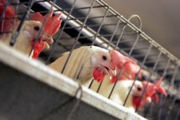 FILE - In this Sept. 10, 2008, file photo, chickens huddle in their cages at an egg processing plant at the Dwight Bell Farm in Atwater, Calif. Proposition 12 on California's November ballot would require that egg-laying hens be cage free by 2022. (AP Photo/Marcio Jose Sanchez, File)