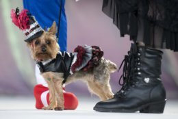 In this Oct. 24, 2018, photo provided by the Florida Keys News Bureau, Gigi, the Yorkshire terrier, struts her steam punk attire during the Fantasy Fest Pet Masquerade in Key West, Fla. The competition was a facet of events during the island city's 10-day Fantasy Fest costuming and masking celebration. (Rob O'Neal/Florida Keys News Bureau via AP)