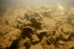 Oysters are pictured growing on the Bay floor next to Fort Carroll in Baltimore back in May. In recent years, millions of oysters have been planted near the city's Inner Harbor. (Courtesy Chesapeake Bay Foundation/Michael Eversmier)