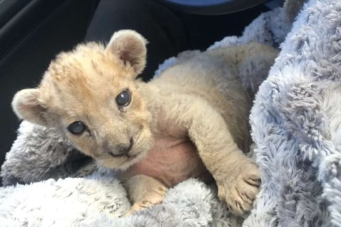 Look what we found: Tiny female lion cub in French garage