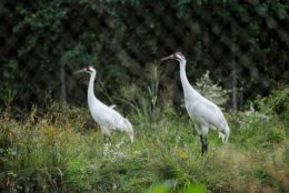 Whooping cranes in their enclosure at the Patuxent Wildlife Research Center (WTOP/Kate Ryan)