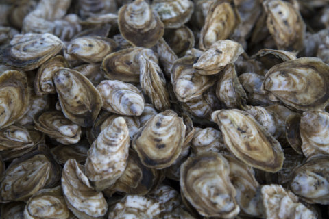 Trouble, then a turnaround at Md.'s biggest oyster hatchery